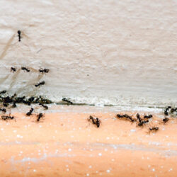 How To Get Rid Of Sugar Ants With Ease