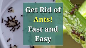 Seven Steps To Get Rid Of Sugar Ants In Kitchen
